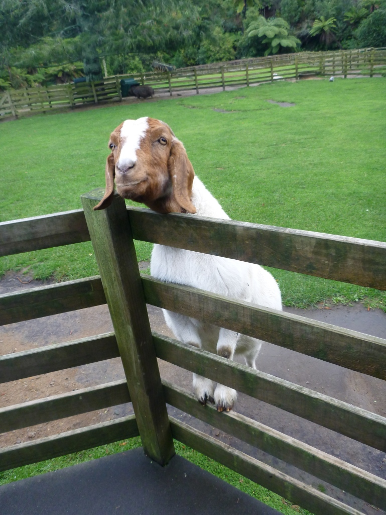 Cute Goat at Paradise Valley
